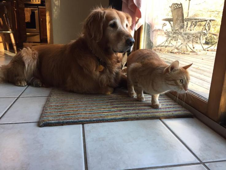 golden retriever and tabby cat stare out sliding porch door