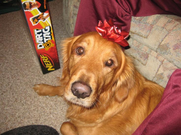 golden retriever christmas bow on head