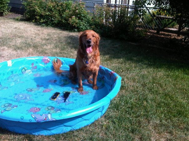 Golden retriever standing in kids pool