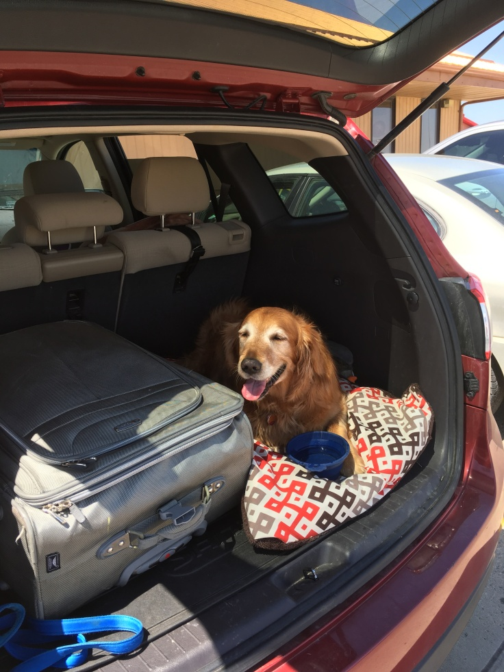 golden retriever in back of SUV