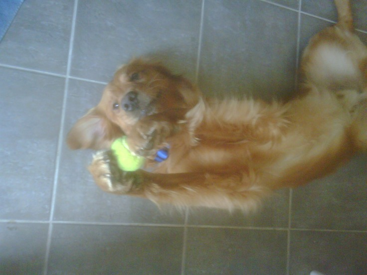 Macallan golden retriever tennis ball trick