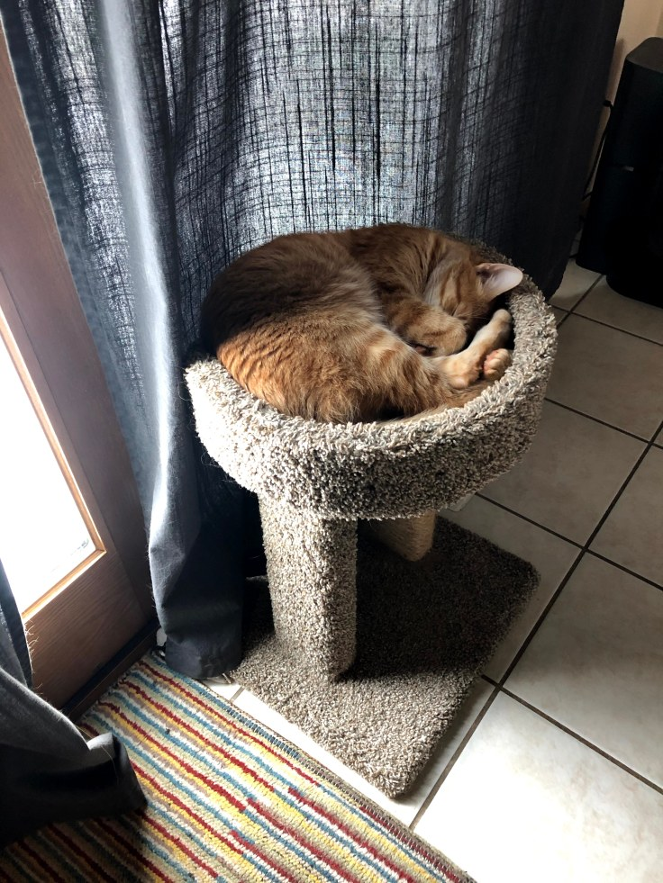 Orange tabby cat naps curled up in kitty stand by back patio door