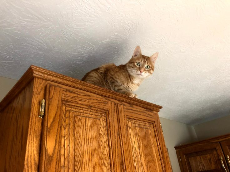 Orange tabby cat perches on top of kitchen cabinets